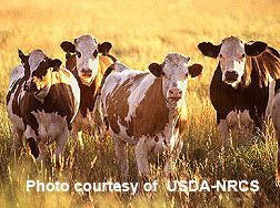 photo - cattle in pasture