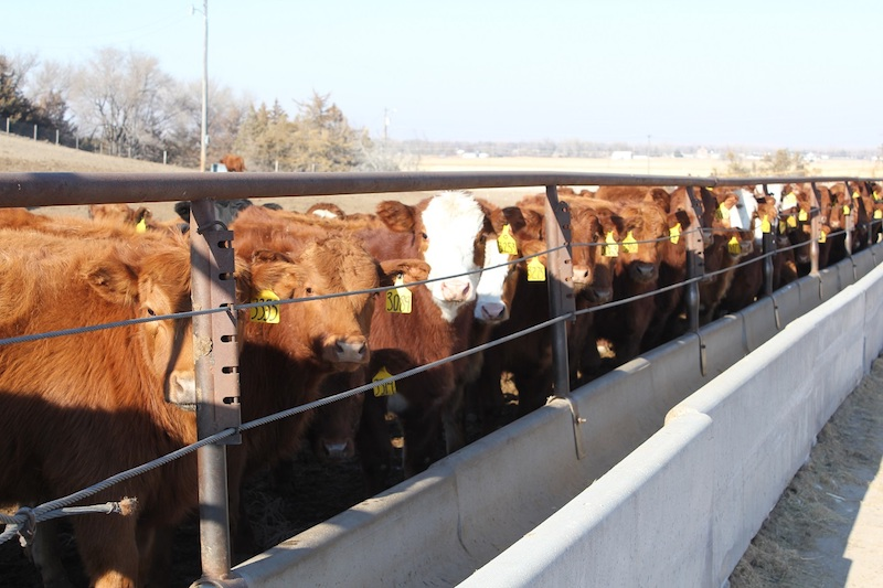 many cattle standing at a feed trough