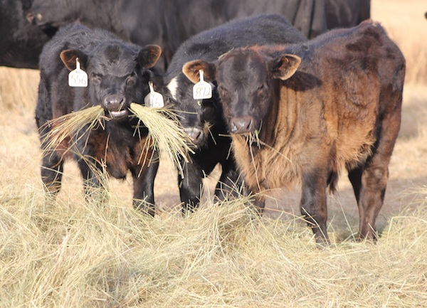 photo of cattle eating hay
