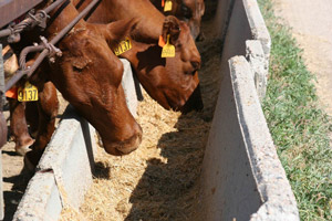 photo of cattle feeding from bunker