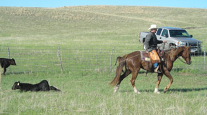 photo of calf roped by cowboy on horseback