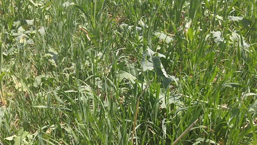 photo of cover crops