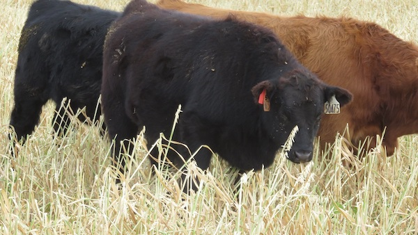 photo of cattle grazing standing forage