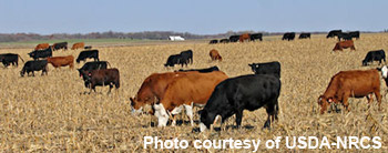 photo - cattle grazing corn stalks