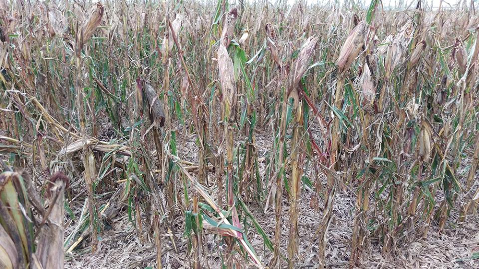 photo of late season corn damaged by hail