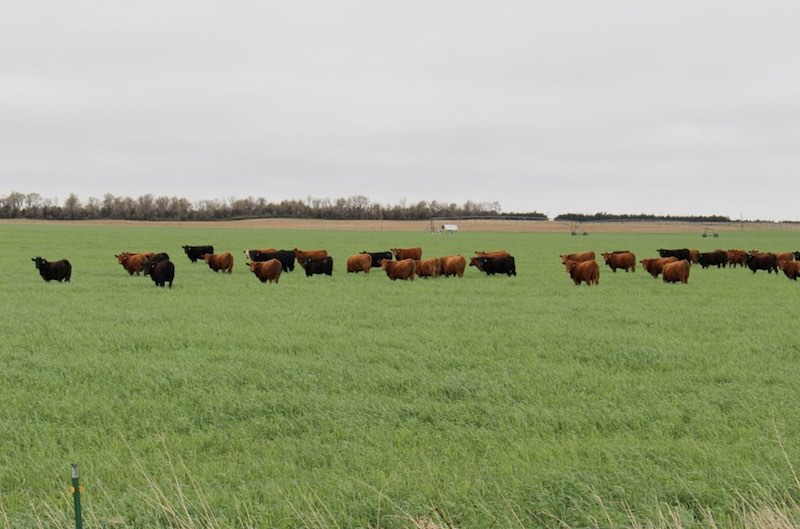 many cattle grazing in a field