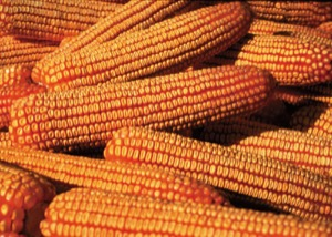 photo of mature ears of corn fill with grain