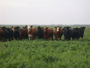 photo of cattle grazing oats and turnip crop
