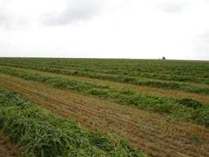 photo of winrowed forage crop in growing season