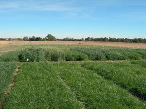 photo of field of forage crop planted in August