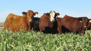 photo - cattle grazing in forage cover crop field