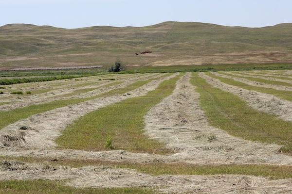 photo of hay wind rows