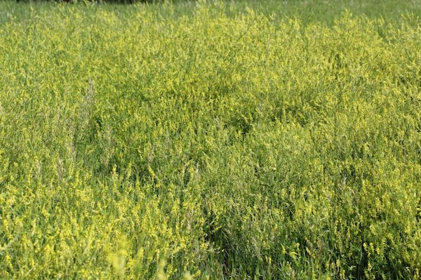 photo of sweetclover in field