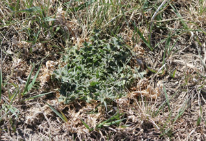 photo of weed in pasture