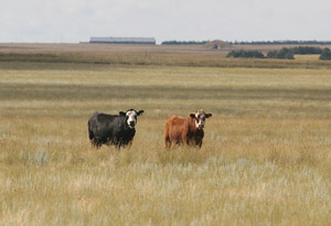 photo of 2 cows in pasture