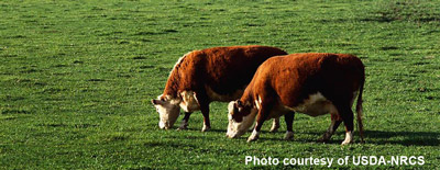 photo - cattle in green pasture