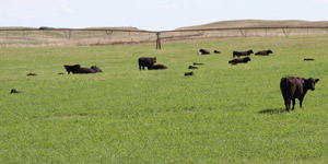 photo of cattle in irrigated pasture