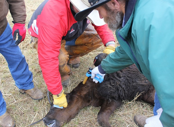 photo of calf receiving an injection