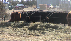 cattle in temp feeding area