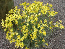 photo - Riddell groundsel