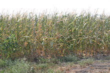 photo of drought-damages cornfield