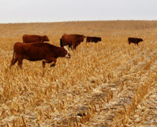 cattle grazing corn stalks