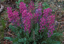 Purple Locoweed