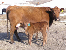 Cow-calf pair in snow-covered field