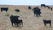 photo - First-calf cows with calves in pasture