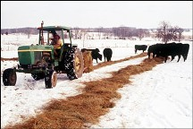 Photo - feeding cows in winter