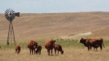 photo - cow/calf pairs in pasture affected by drought