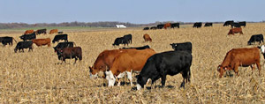 cattle grazing in harvested corn field