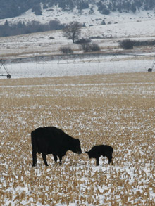 photo - cow with calf in winter pasture