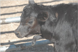 photo of Angus calf with defect