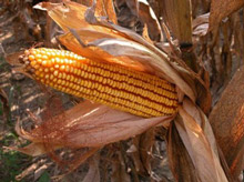 photo of ear of corn