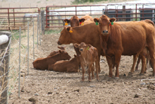 photo cow-calf pairs in confinement