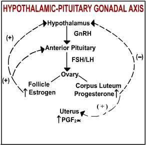 hypothalamic-pituitary-gonadal axis image - link to Flash file demonstration