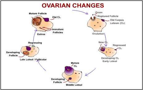 Ovarian changes