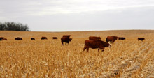 photo of cattle grazing in corn stubble