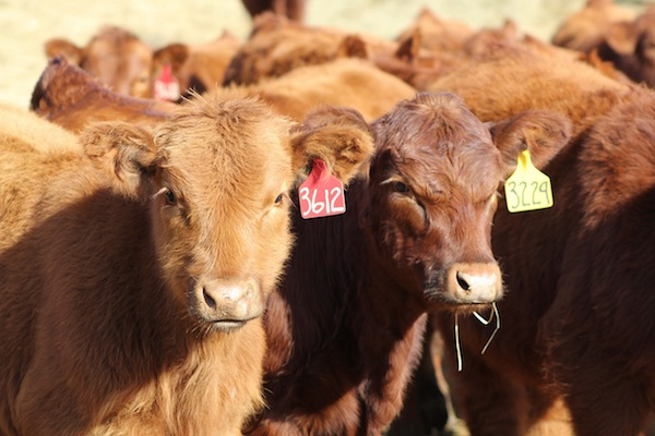 photo of a group of cattle