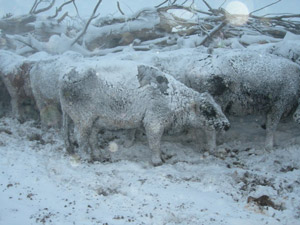 photo of snow-covered cattle in field