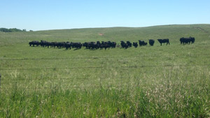 photo - cow herd in summer pasture