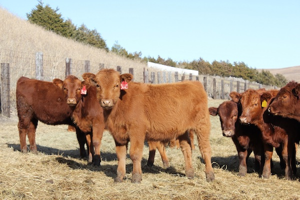 photo of several young cattle