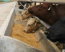 photo - cattle feeding at bunker