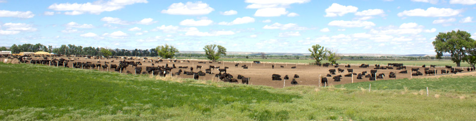 Cattle operation in Nebraska