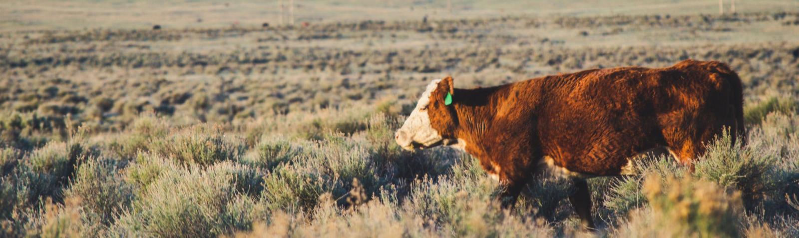 lone cow wandering open range